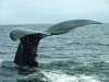 bay-of-fundy-whales