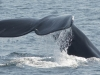 diving-right-whale_0